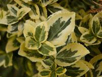 Euonymus fortunei 'Emerald and Gold' - bršlen fortuneov