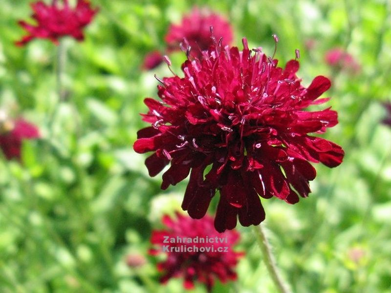 Knautia macedonica 'Red Knight' - chrastavec makedonský