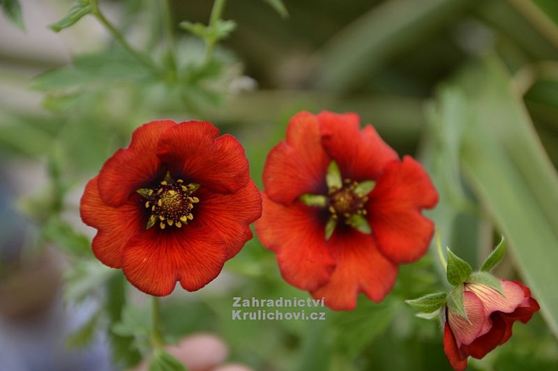 Potentilla 'Blaze Away' - mochna
