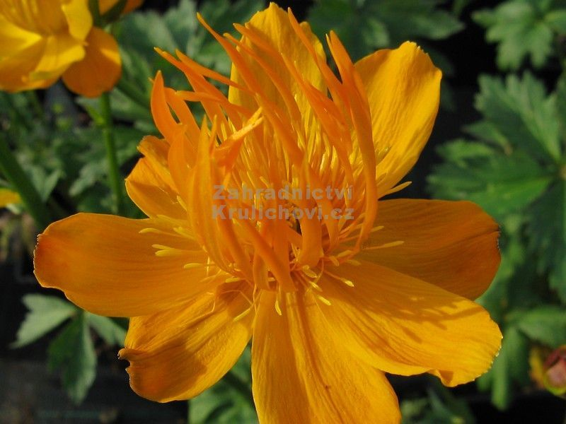 Trollius chinensis 'Golden Queen' - úpolín
