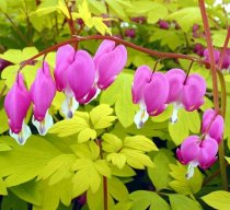 Gold Heart Bleeding Heart -Dicentra-SHADE- Potted-RARE