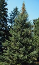 Abies balsamea: Balsam Fir