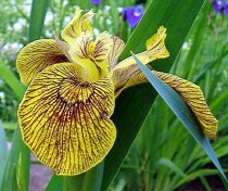 Berlin Tiger Iris - Loves to Get It's Feet Wet