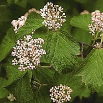 Maple-leaved Viburnum