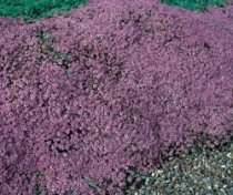 Thymus serpyllum - Mother of Thyme