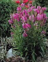 Physostegia virginiana 'Pink Bouquet' - Obedient Plant, False Dragonhead