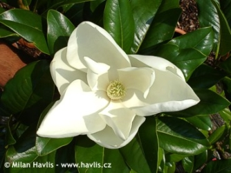 Magnolia grandiflora Edith Bogue