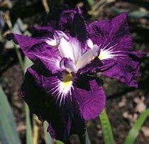 Iris ensata 'Asian Warrior' - Japanese Iris