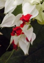 Clerodendrum thomsoniae - Bleeding Heart Vine