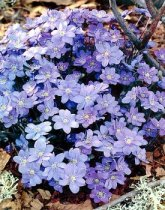 Hepatica transsilvanica 'Blue Jewel'
