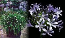 Agapanthus africanus - Lily of the Nile, African Lily