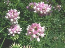 Coronilla varia - Crown Vetch