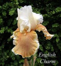 Iris 'English Charm' - Bearded Iris