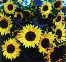 Helianthus annuus - Common Sunflower