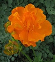Trollius chinensis 'Golden Queen' - Chinese Globe Flower