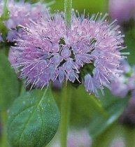 Mentha pulegium - English Pennyroyal