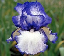 Iris 'Hemstitched - Tall Bearded Iris