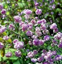 Thalictrum delavayi 'Hewitt's Double' - Yunnan Meadow Rue