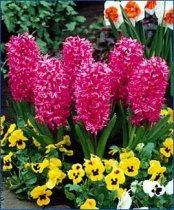 Hyacinthus orientalis 'Jan Bos' - Dutch Hyacinth