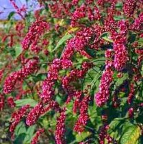 Polygonum Orientale - Kiss Me Over The Garden Gate