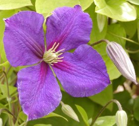 Clematis 'Star of India' - plamienok
