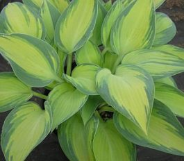 Hosta 'June' - bohyška, funkia
