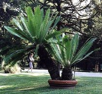 Dioon edule - Cycad
