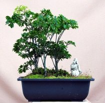 Polyscias fruticosa - Ming Aralia (Bonsai Tree)