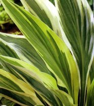 Hosta 'Lakeside Dragonfly' - Hosta