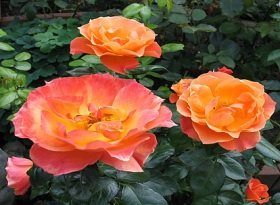 Rosa 'Fellowship' - Rose