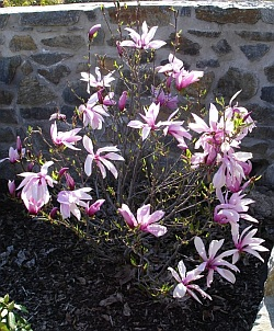 Magnolia 'Betty' - šácholan