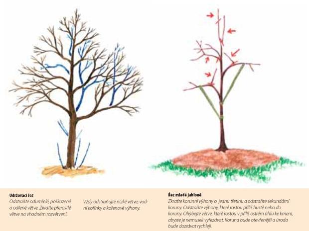 Udržovací řez, řez mladé jabloně - řez dřevin (fiskars)