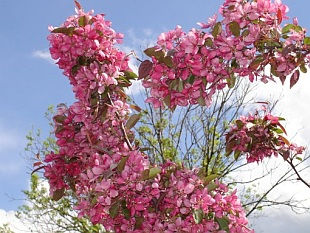 Malus 'Royalty' - crab apple