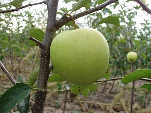 Malus domestica 'Golden Delicious' - jabloň