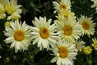 Leucanthemum 'Broadway Lights' - kopretina