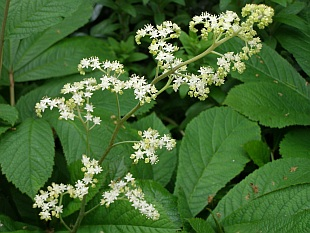 Rodgersia aesculifolia - rodgersie