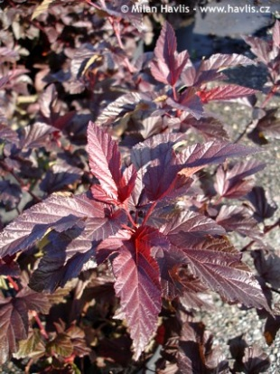 Physocarpus opulifolius 'Lady in Red®' - tavola kalinolistá