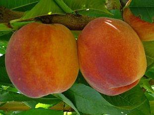 Prunus persica 'Inka' - broskyňa (KOHAPLANT)