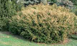 Taxus baccata 'Washingtonii' [foto 3] (ZPK)