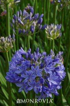 Agapanthus 'Midnight Blue' - Lily of the Nile