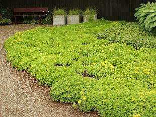 Rastliny rozchodníky tip zc cs pôdopokryvné rastliny brečtan tip