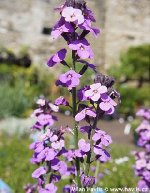 Erysimum 'Bowles mauve' - shrubby wallflower