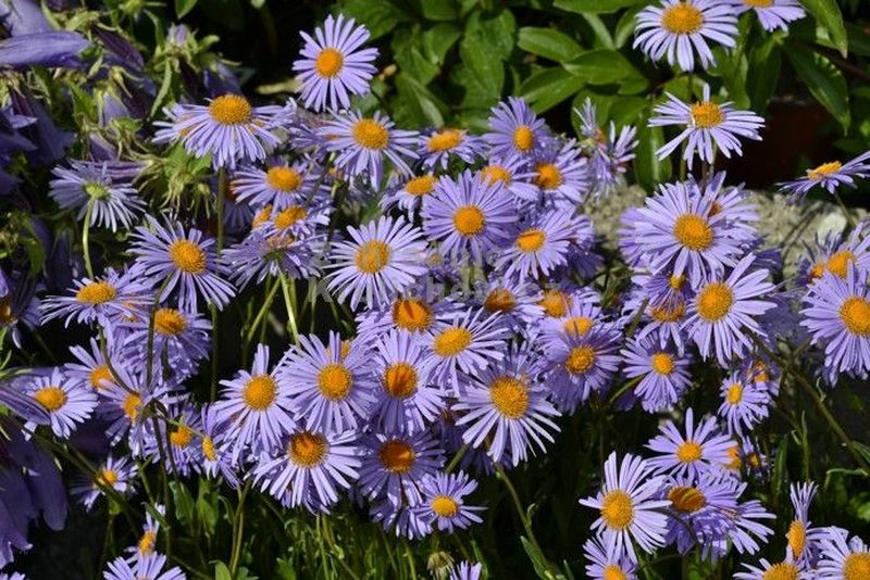 Aster tongolensis 'Napsbury' - astra, hvězdnice