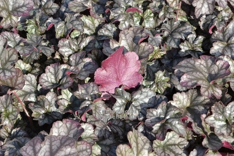 Heuchera 'Hollywood'® - dlužicha