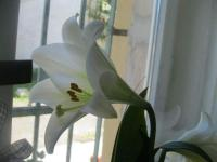 Lilie White Heaven - LO hybridy