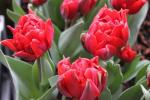 Tulipán 'Red Princess'