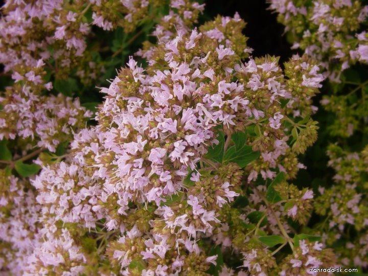 Pamajorán obyčajný (Origanum vulgare)