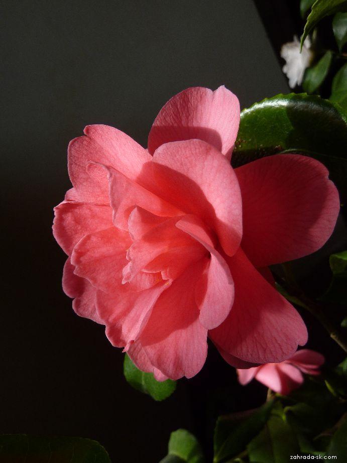 Kamélie - květ (Camellia)