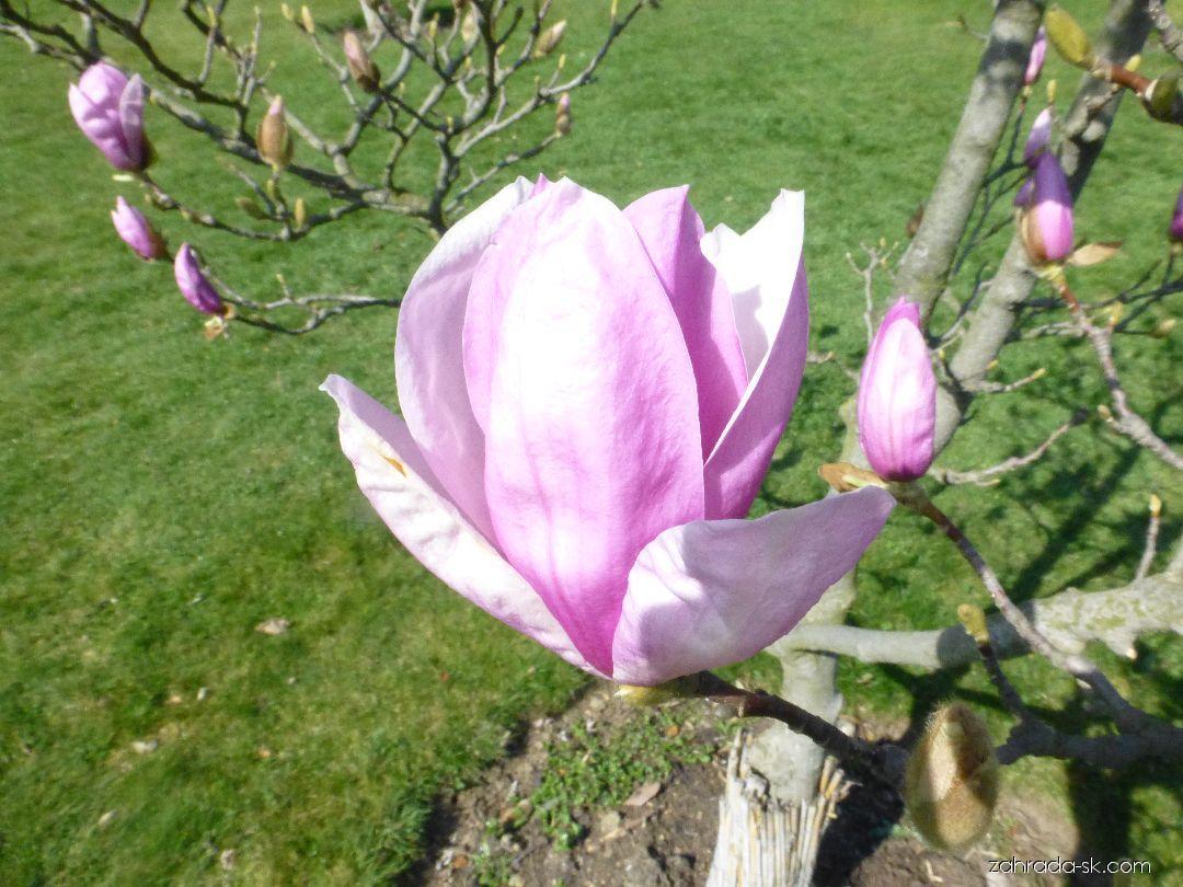 Magnólia - Magnolia Pinkie