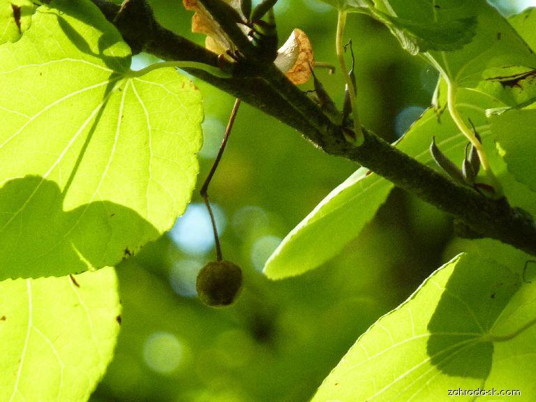 Cercidovník japonský - Cercidiphyllum japonicum
